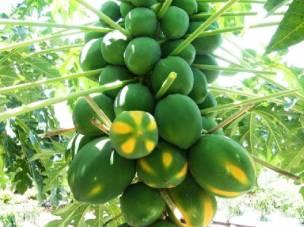 papayaplant