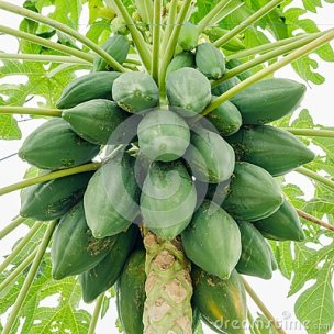 See article on How to Pick a Papaya